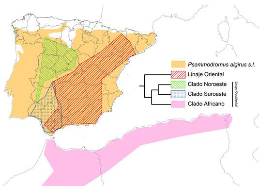 Distribución de las muestras analizadas de Psammodromus algirus en la Península y norte de África, así como un árbol filogenético simplificado. Tomados de Verdú-Ricoy et al. (2010).  © V. Sancho 2015.