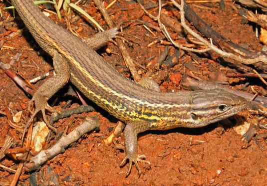 Psammodromus algirus. Linaje oriental. Pinet (Valencia). © V. Sancho 2006.