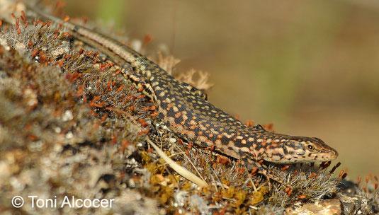 Podarcis virescens. Andújar (Jaen). © Toni Alcocer