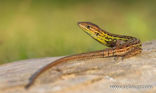 Psammodromus occidentalis. Alosno (Huelva). © Sebas Gómez