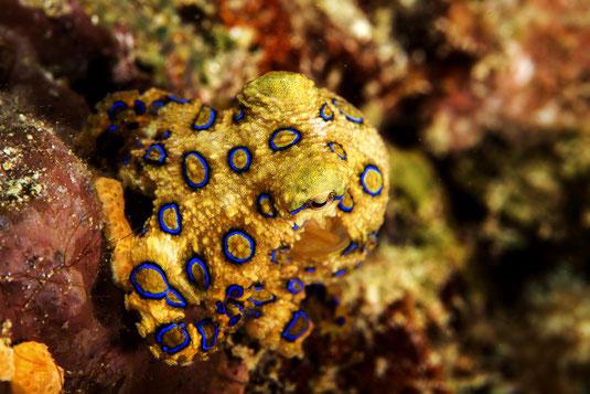 Hapalochlaena lunulata Blauringkrake im Riff