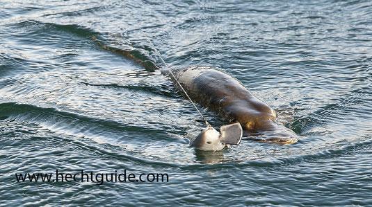 92cm Hecht beißt auf den 28cm Swimbait von www.hechtguide.com