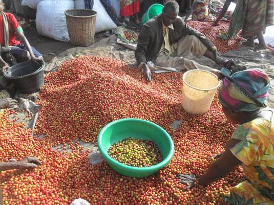 Sortieren der Kaffee-Kirschen bei der SOPACDI Kooperative in der D.R. Kongo  /  Picture by Café Imports