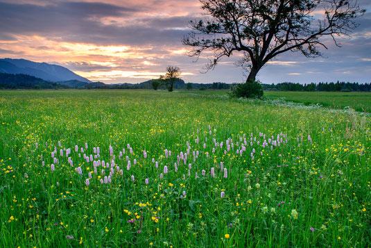Landschaft mit einer Blumenweise, einem Baum und Bergen im Hintergrund. Die Sonne geht gerade unter.