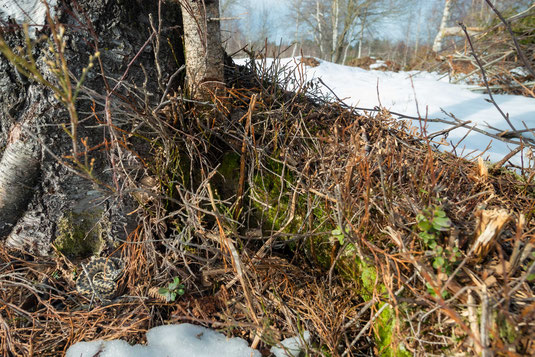 Vipera berus Kreuzotter adder Schwarzwald Black Forest Germany Deutschland