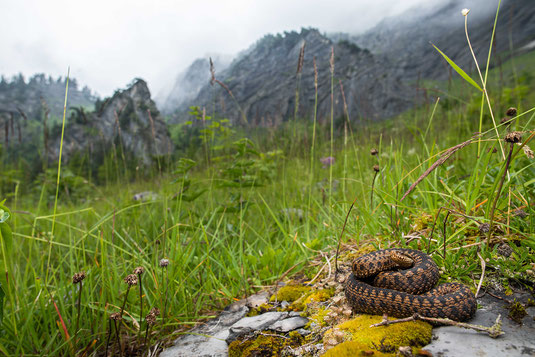 Vipera berus alps Switzerland Alpen Schweiz Adder Kreuzotter northern clade