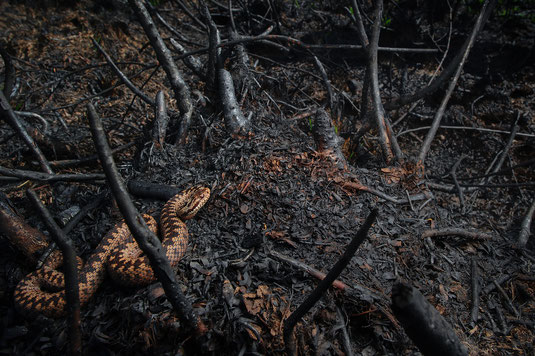 Vipera berus fire de meinweg nationalpark adder waldbrand feuer kreuzotter schlange otter  brand bosbrand