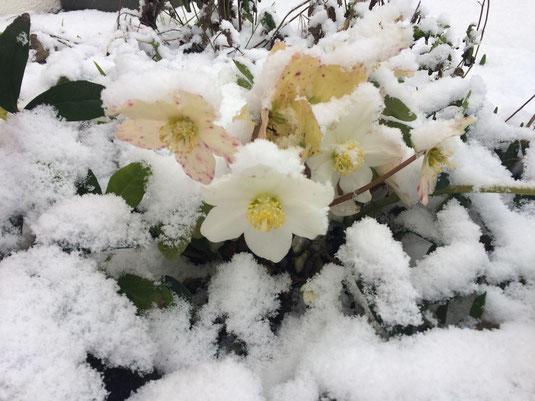 Christrose mit Schnee