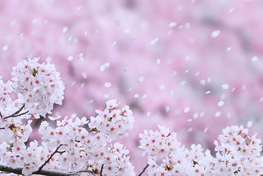 桜吹雪の写真