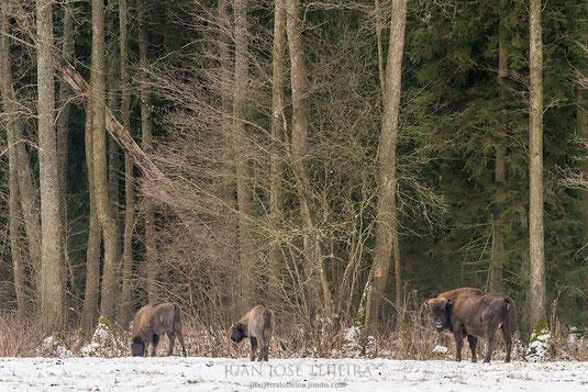 Bisontes en un claro del bosque.
