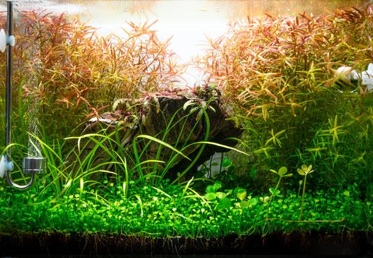 Nano-Aquascape mit 19l Volumen aus hochwertigem Weißglas mit üppiger Bepflanzung.