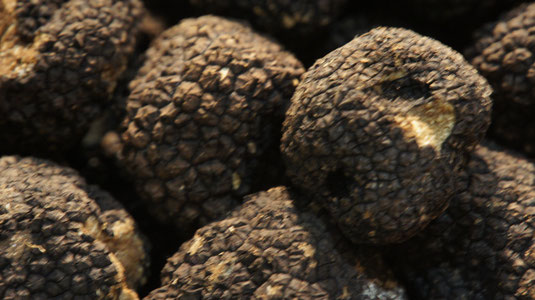 schwarzer Trüffel (Tuber melanosporum Vitt.)