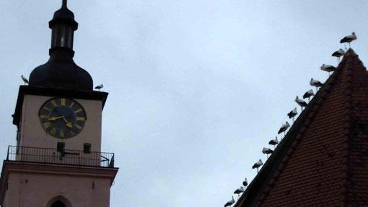 """Das hat die evangelische Stadtkirche in Neustadt in ihrer 550-jährigen Geschichte noch nicht erlebt: Sie ist mit umliegenden Gebäuden das Nachquartier eines großen Trupps """"Winterstörche"""". © Harald Munzinger"""