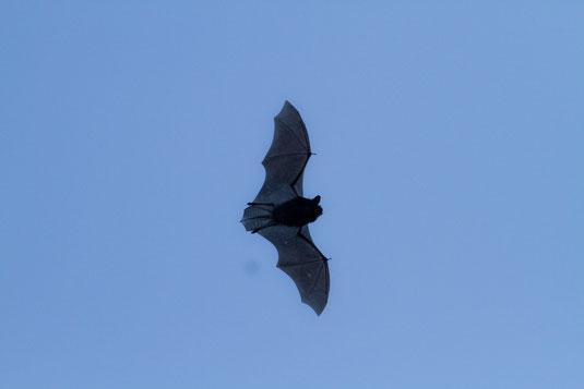Fliegende Zwergfledermaus. Foto: Andreas Hartl