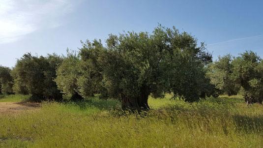 Anbau und Ernte Olivenöl