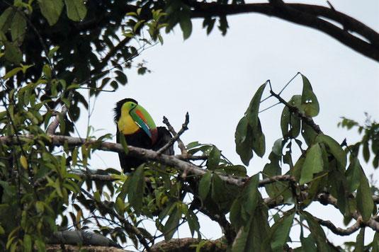 Toucan, rainforest, Costa Rica, wildlife, animal spotting