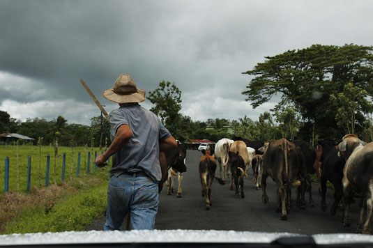 road trip Costa Rica, traffic, cows on road, animals crossing, central america
