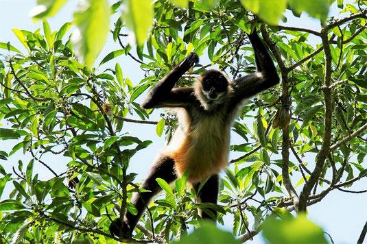 Affen, Costa Rica, Tiere, Tierwelt