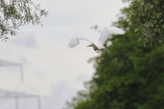 Abfliegender Silberreiher (Foto: Michael Herzig)