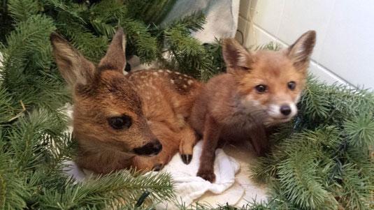 Rehlein und Mogli der kleine Fuchs