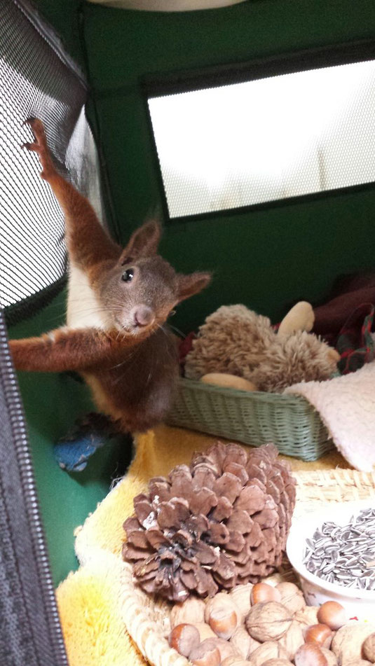 """Eichhörnchen  """"Noemi"""" beim Frühstück"""