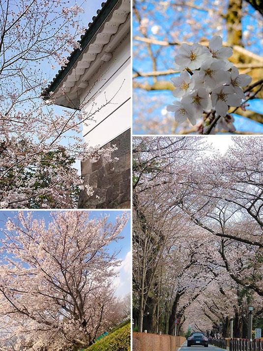 桜写真2020, SAKURA PHOTO, 全国の桜, 桜開花, 桜スポット, 桜見どころ, Cherry Blossoms