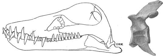 Styxosaurus snowii drawings