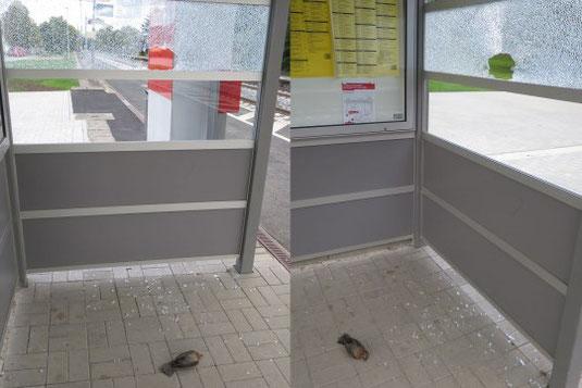 Diese Amsel kam an einem Buswartehäuschen ums Leben