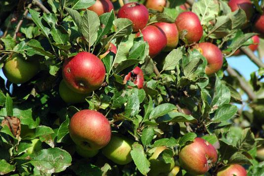 Bleibendes Zeichen der Verbundenheit sind die mit den Erblassern gepflanzten Apfelbäume