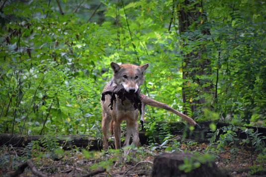 Wolf mythologie mythos wölfe geschichte kultur kulturen mensch menschen magie verfressen gefräßig beute fressen knochen fleisch