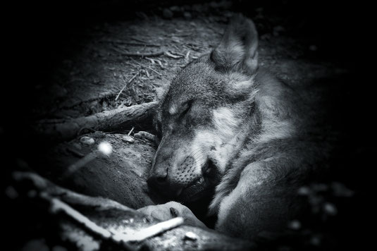 Wölfe _ Wolf im Traum