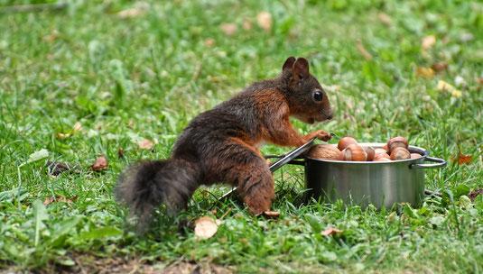 Eichhörnchen am Nusstopf / Foto: Pixabay