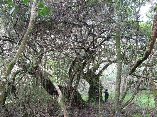 樹齢不明、少なくても1000年以上のミルクウッドの木