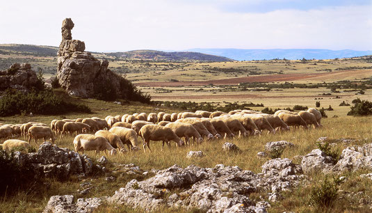 troupeau-de-brebis-race-lacaune-sur-le-larzac-terre-insolite-terre-d'-immensite-et-de-lumiere-cedit-photo-gîte-exception-aveyron-le-colombier-saint-véran-location-vacances-région-occitanie-france