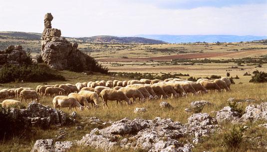 evasion-grands-causses-troupeau-de-brebis-race-lacaune-sur-le-larzac-hebergement-en-gîte-d'-exception-en-aveyron-le-colombier-saint-véran-location-vacances-pour-2-personnes-région-occitanie-france-credit-photo-mcg