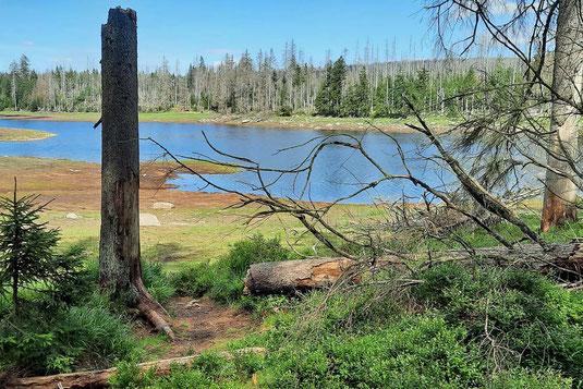 Abgestorbene Bäume stehen am Ufer des Oderteichs. Der Wasserstand des Sees ist niedrig.