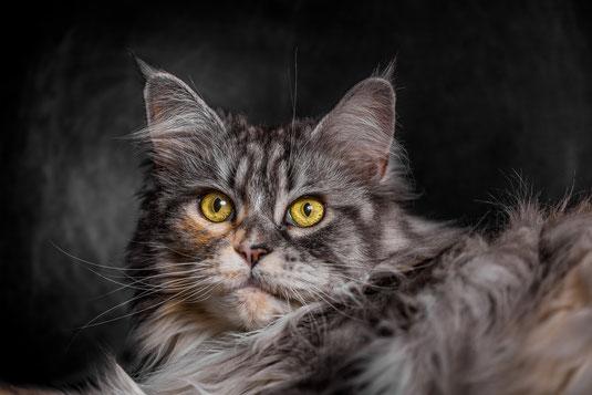 Epische Katzenportraits selbst fotografieren mit Maine Coon Katze Ruby von Tobias Gawrisch (Xplor Creativity)