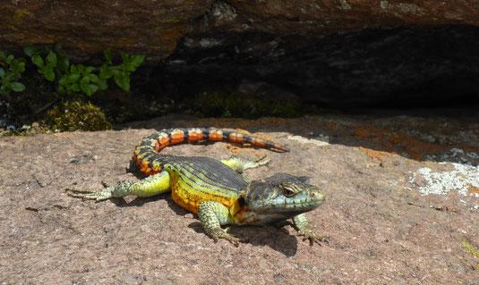 Lézard dans le Drakensberg ; Afrique du Sud. Culture Maxime Lelièvre