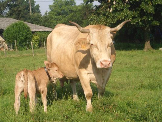 Une vache de la race Villarde avec son petit veau
