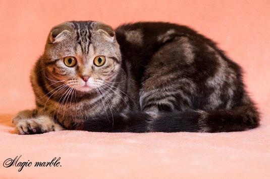 Питомник  шотландских кошек Magic marble