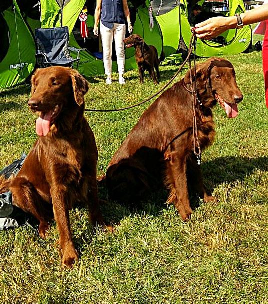 Zwei braune Flat coated Retriever Hunde sitzend im grünen Gras.
