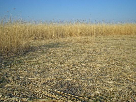 画像:渡良瀬遊水地で行われているヨシ刈りの跡地