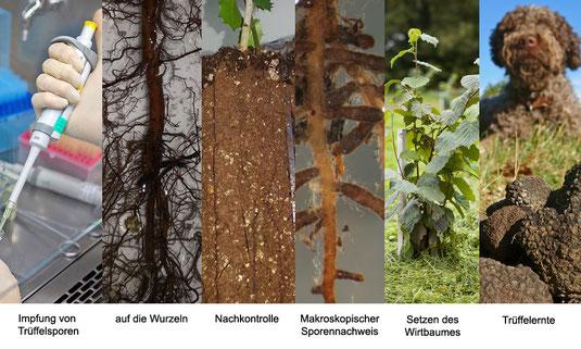 Die Trüffelbaumimpfung ist die künstliche Herstellung der Symbiose zwischen Baum und Pilz