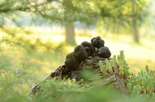 Trüffel sind nicht nur für Feinschmecker - manche Vögel lieben sie auch    Eine wachsende Zahl von Forschungen zeigt, dass mehr Arten Trüffel fressen, als wir glauben, was den Pilzen und den Trüffelbäumen zu gute kommt, unter denen sie wachsen.