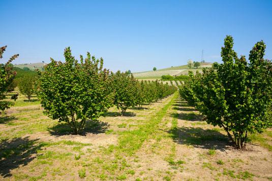 Clos Racines errichtet größten Trüffelgarten in Kalifornien mit 3600 Trüffelbäume (Eichen) auf 26 Hektar Land