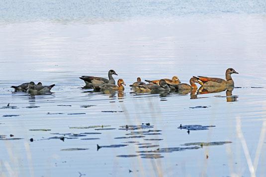Nilgansfamilie am Fetzer-Flachwassersee (Foto: Claudia Neumann)