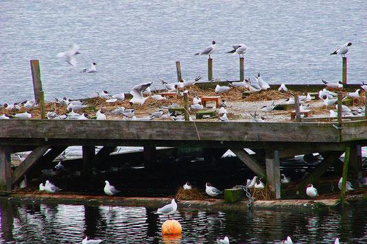 Brutgeschehen am Flussseeschwalbenfloß am Starnberger See (Foto: Leo Glatt)