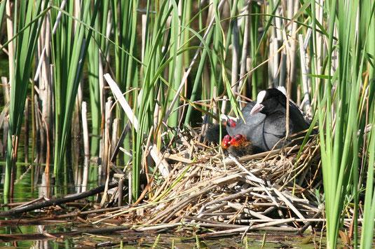 Blässhuhn mit Jungen am Nest (Foto: Pit Brützel)