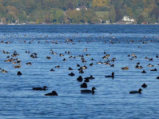 überwinternde Wassservögel am Starnberger see (Foto: A.Gehrold)