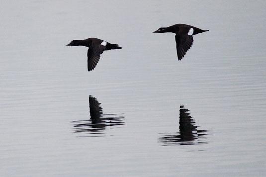 fliegende Samtenten (Foto: Christian Haass)
